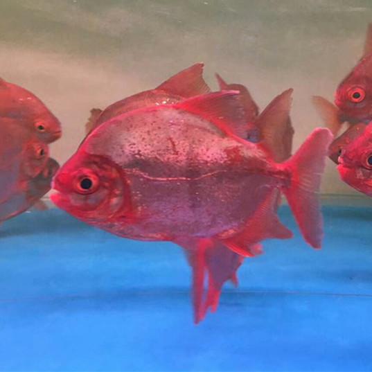 肇庆玫瑰银版鱼